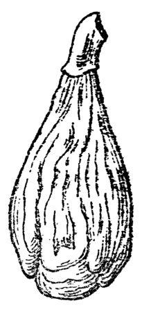 A sketch of Fig kept vertically, vintage line drawing or engraving illustration.