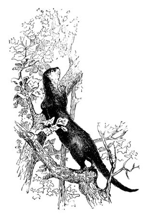 Sea Otter is a marine mammal native to the coasts of the northern and eastern North Pacific Ocean, vintage line drawing or engraving illustration.