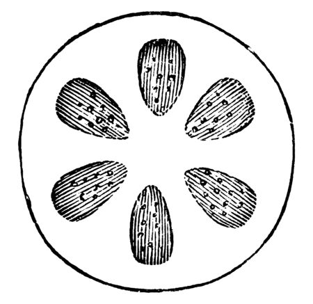 A diagram showing cross section of stem showing six annual layers of wood. These annual layers show life of tree, vintage line drawing or engraving illustration.