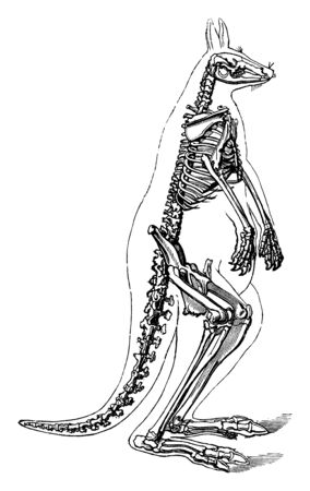 Kangaroo Skeleton in which tail located at the terminal end of the vertebral column, vintage line drawing or engraving illustration. Stock Illustratie