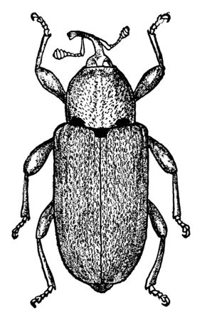 Potato Stalk Borer Adult is a small ash gray weevil about one sixth of an inch in length, vintage line drawing or engraving illustration. 向量圖像