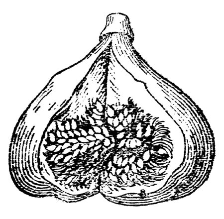 A Fig cut into two parts to show its interior portion, vintage line drawing or engraving illustration.