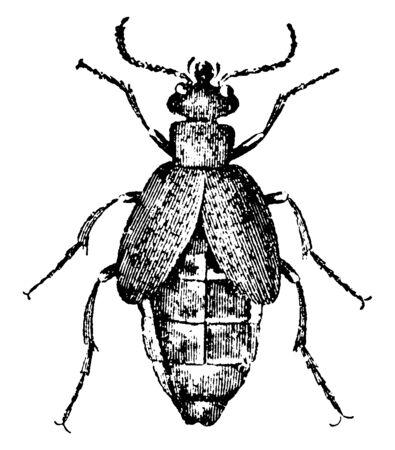 Oil Beetle is a type of Blister beetle, vintage line drawing or engraving illustration. Foto de archivo - 133034513