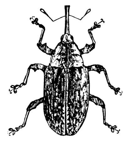 Plum Gouger is a kind of culio or weevil, vintage line drawing or engraving illustration. Ilustração