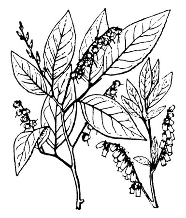 Leucothoe is a genus of about 50 species of flowering plants in the family Ericaceae, native to Asia, the Americas and Madagascar, vintage line drawing or engraving illustration. Иллюстрация
