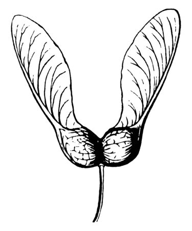 A dry fruit named as key containing seeds, vintage line drawing or engraving illustration.
