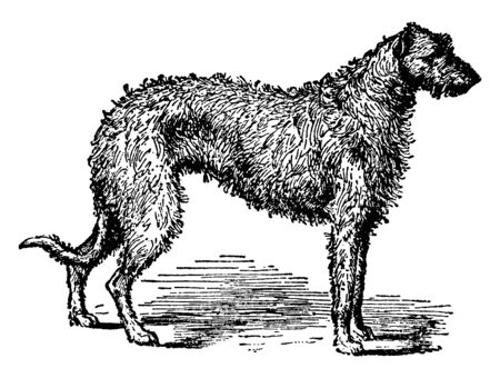 This is the Staghound is the Scotch deerhound, called also the wolf dog. These dogs hunt chiefly by sight and are used for stalking deer, vintage line drawing or engraving illustration.
