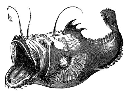 Lophius have huge mouths with a wormlike projection to entice prey, vintage line drawing or engraving illustration. 向量圖像