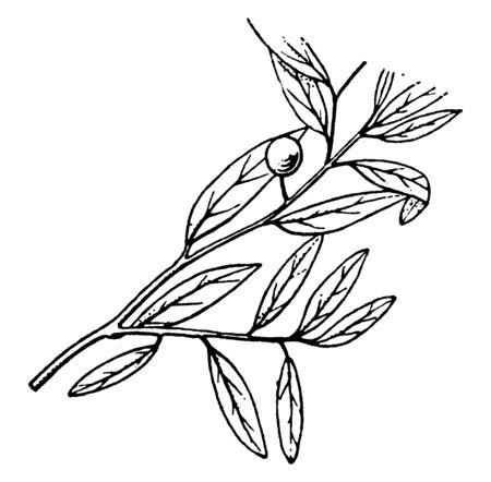A branch of Glabraria plant, vintage line drawing or engraving illustration. Illustration