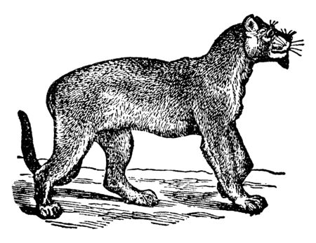 Puma is an American carnivorous mammal, vintage line drawing or engraving illustration.
