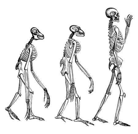Skeletons is the body part that forms the supporting structure of an organism, vintage line drawing or engraving illustration. Illustration