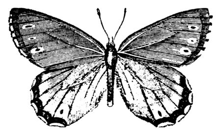 Satyrus Balder which is found in every quarter of the globe, vintage line drawing or engraving illustration. Illusztráció