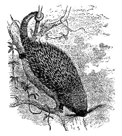 Synetheres Prehensilis found in Mexico and much of South America, vintage line drawing or engraving illustration.