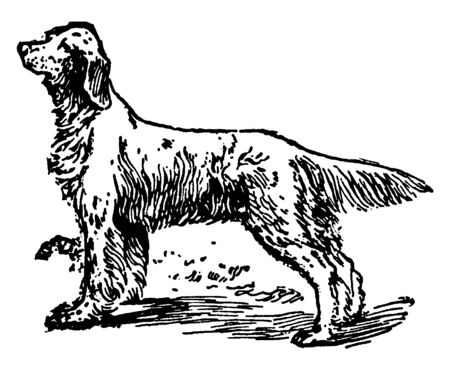 Setter is a type of gundog used most often for hunting game such as quail, vintage line drawing or engraving illustration. Ilustrace