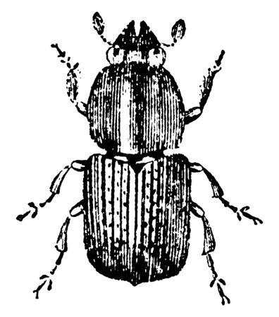 European Elm Bark Beetle which is a bark beetle species in the genus Scolytus, vintage line drawing or engraving illustration. Foto de archivo - 133035696