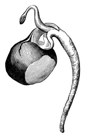 A sketch showing germination in Horse Chestnut, vintage line drawing or engraving illustration. Ilustração