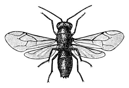 Ruby Tailed Fly is a species of cuckoo wasps  and rich colored insects, vintage line drawing or engraving illustration.