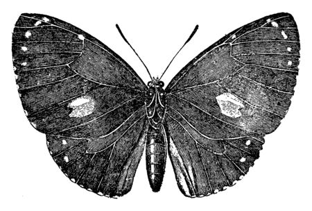 Morphidae contains the largest and most splendid of the South American butterflies, vintage line drawing or engraving illustration. Ilustração