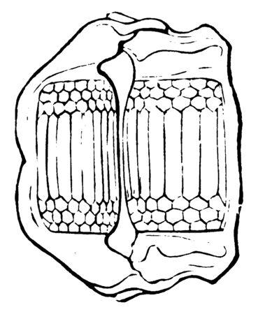 Skate is artilaginous fish belonging to the family Rajidae, vintage line drawing or engraving illustration.
