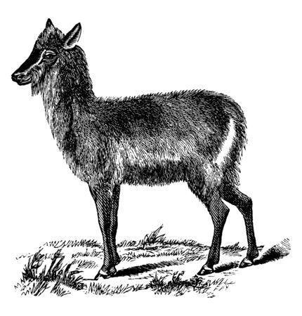 Equioon ma jasnobrązowy kolor i żyje w małych stadach w Gambii, vintage rysowanie linii lub ilustracja grawerowania. Ilustracje wektorowe