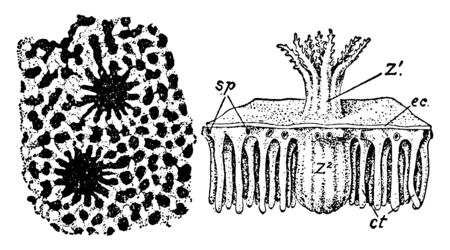 Heliopora Corerulea with the adjacent soft tissues as seen after removal of the skeleton by decalcification, vintage line drawing or engraving illustration. Çizim