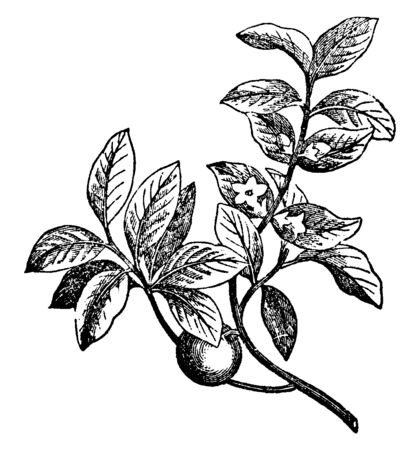 An Ebony branch with fruits and flowers, vintage line drawing or engraving illustration.