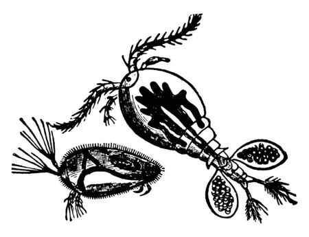 Water Flea is microscopic crustaceans, vintage line drawing or engraving illustration.
