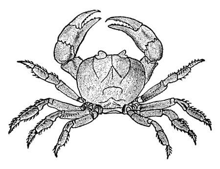 Il granchio terrestre si è evoluto per vivere prevalentemente sulla terra, nel disegno di linee vintage o nell'illustrazione dell'incisione.