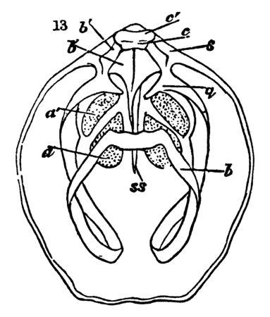 Ventral Valve has foramen and deltidium, vintage line drawing or engraving illustration.