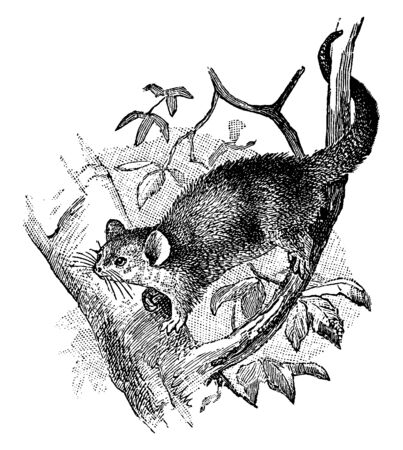 Dormouse Phalanger is a small flying dormouse wit hony three molars on the top, vintage line drawing or engraving illustration.