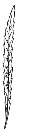 This is Longleaf Willow Leaf. It looks like a Thornbush, vintage line drawing or engraving illustration. Illustration