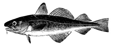 Dorse is common in the Baltic, vintage line drawing or engraving illustration.