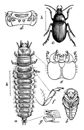 Ground Beetle a large cosmopolitan family of beetles, vintage line drawing or engraving illustration.