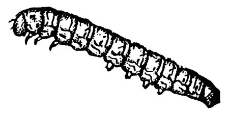Cranberry Fruit worm of the Mineola vaccinii species, vintage line drawing or engraving illustration.