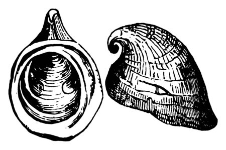 Foolscap Limpet having the shell pileate in form with rounded apeture, vintage line drawing or engraving illustration. Ilustrace
