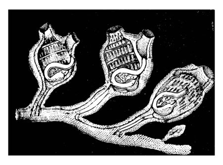 Social Ascidians are united by means of a sort of creeping stem, vintage line drawing or engraving illustration.