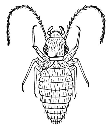Book Louse is a tiny soft bodied which first appeared in the Permian period, vintage line drawing or engraving illustration.