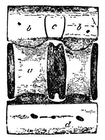 Shark Vertebra where central canal for persistent portion of notochord, vintage line drawing or engraving illustration.