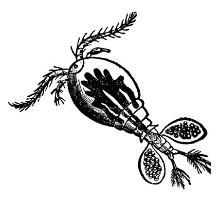Cyclops communis Water Flea is a popular name for minute aquatic Crustaceans, vintage line drawing or engraving illustration.