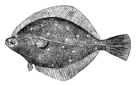 Common Plaice live sup to 200m below the surface, vintage line drawing or engraving illustration.
