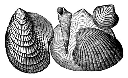 Tertiary Invertebrates is a variety of invertebrates from the Tertiary age, vintage line drawing or engraving illustration.