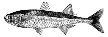 Sand Smelt is five or six inches long, vintage line drawing or engraving illustration.
