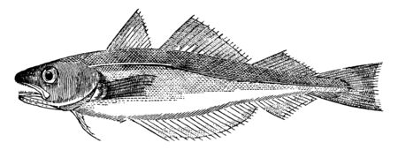 Whiting is twelve to twenty inches long, vintage line drawing or engraving illustration. Illustration