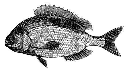 Sea Bream is common in European seas, vintage line drawing or engraving illustration.