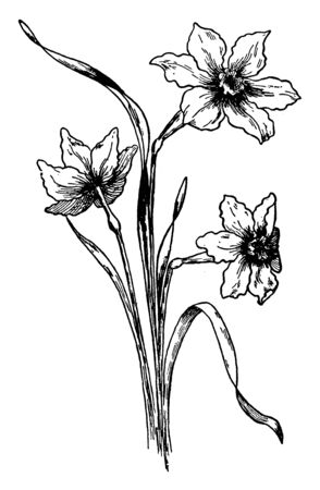 An image of narcissus jonquilla flowering plant like bulbous has fragrant flower. It is also called as Jonquils, vintage line drawing or engraving illustration. Çizim