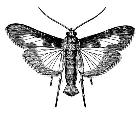 Pickle Worm Moth which lays its eggs on young cucumbers, vintage line drawing or engraving illustration.