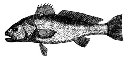 Striped Red Mullet appears in the London markets throughout the year, vintage line drawing or engraving illustration. Standard-Bild - 133034997