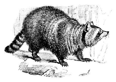 Racoon is an animal about two feet long, vintage line drawing or engraving illustration.