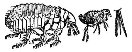 ドッグノミは、多種多様な哺乳類、ヴィンテージラインの描画や彫刻のイラストに外寄生虫として住んでいるノミの種です。