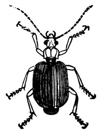 Flat Ground Beetle is a large, vintage line drawing or engraving illustration.